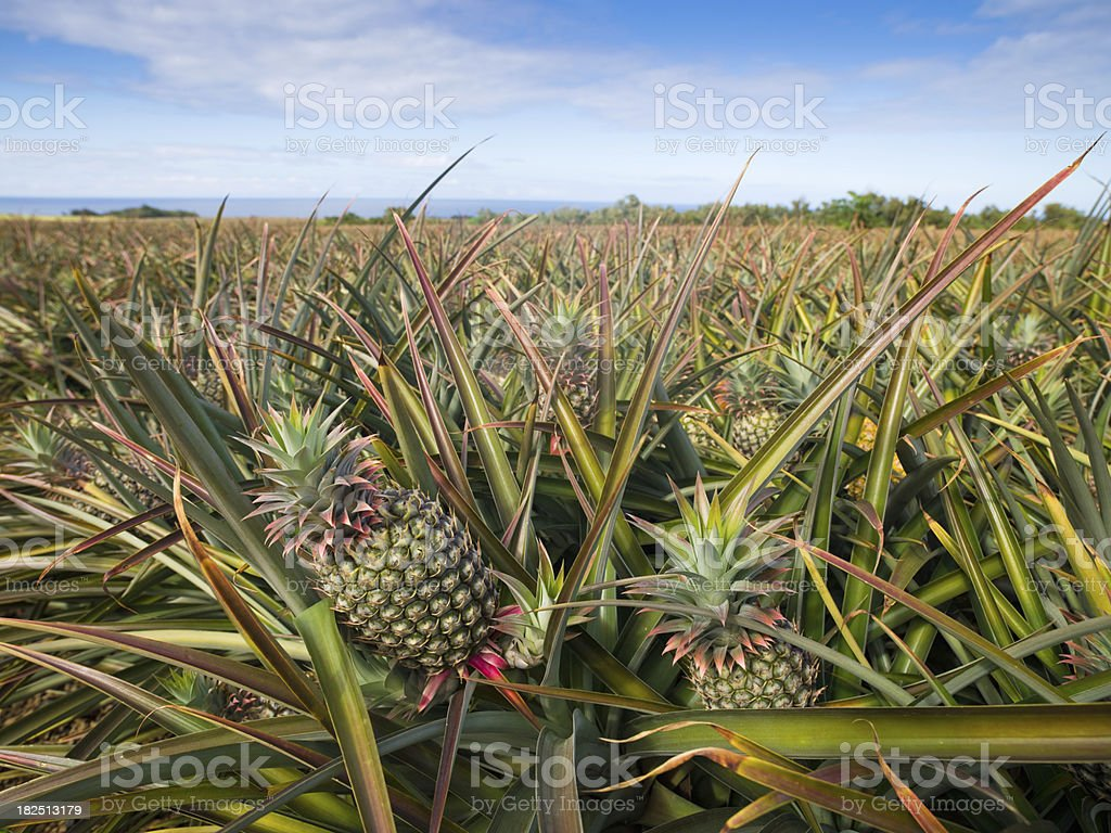 Pineapple Plantation Agriculture stock photo