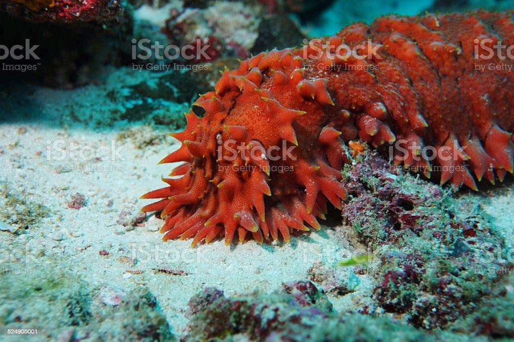 Pineapple Sea Cucumber stock photo