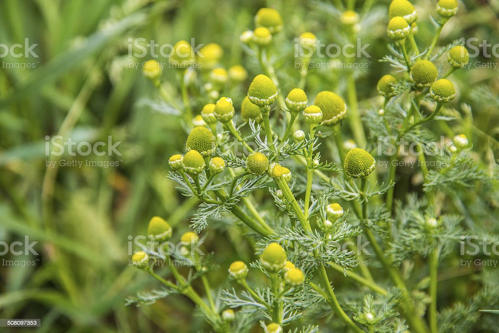 Pineappleweed royalty-free stock photo