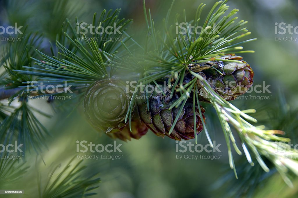 Pine-cone closeup stock photo