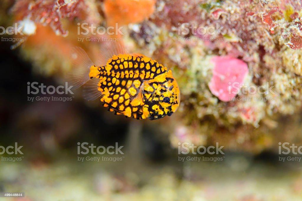 マツカサウオ幼魚(Pinecone fish baby) stock photo