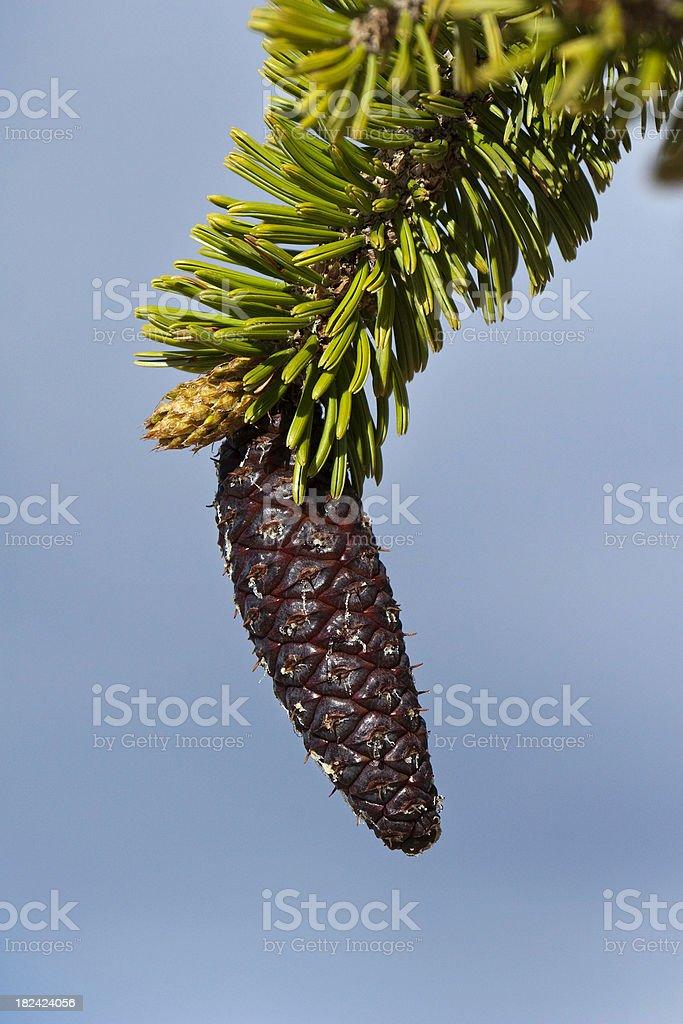 Pinecone of a Bristlecone Pine Tree stock photo