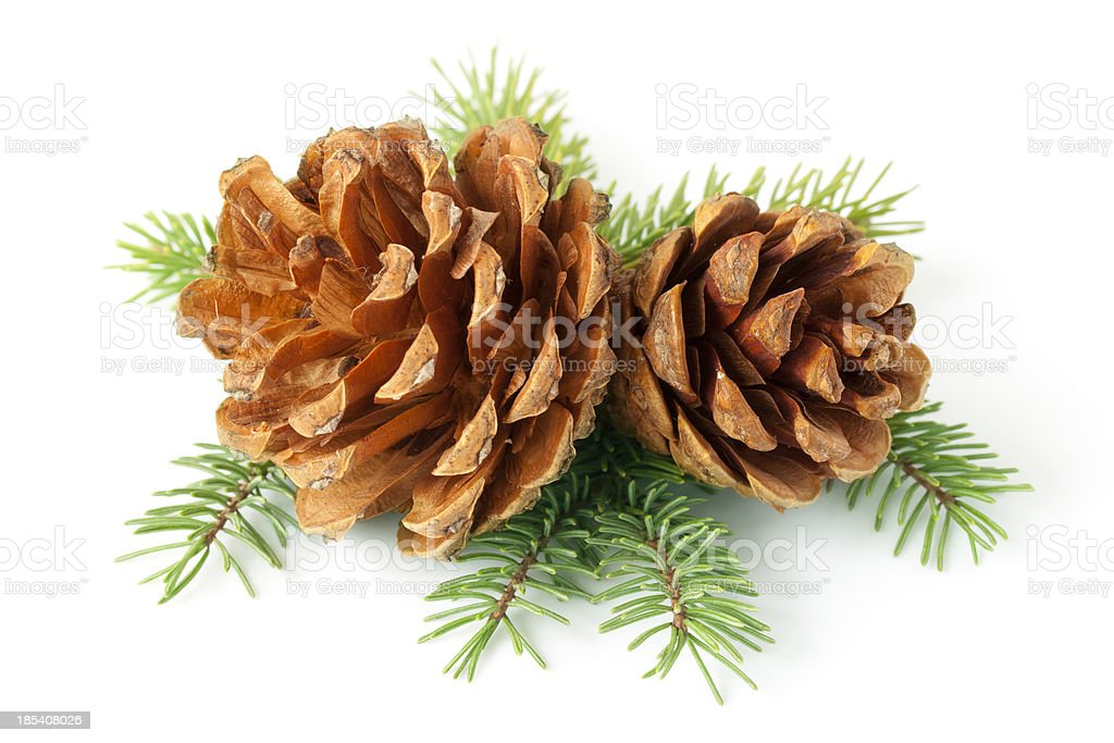 Pinecone on branch stock photo