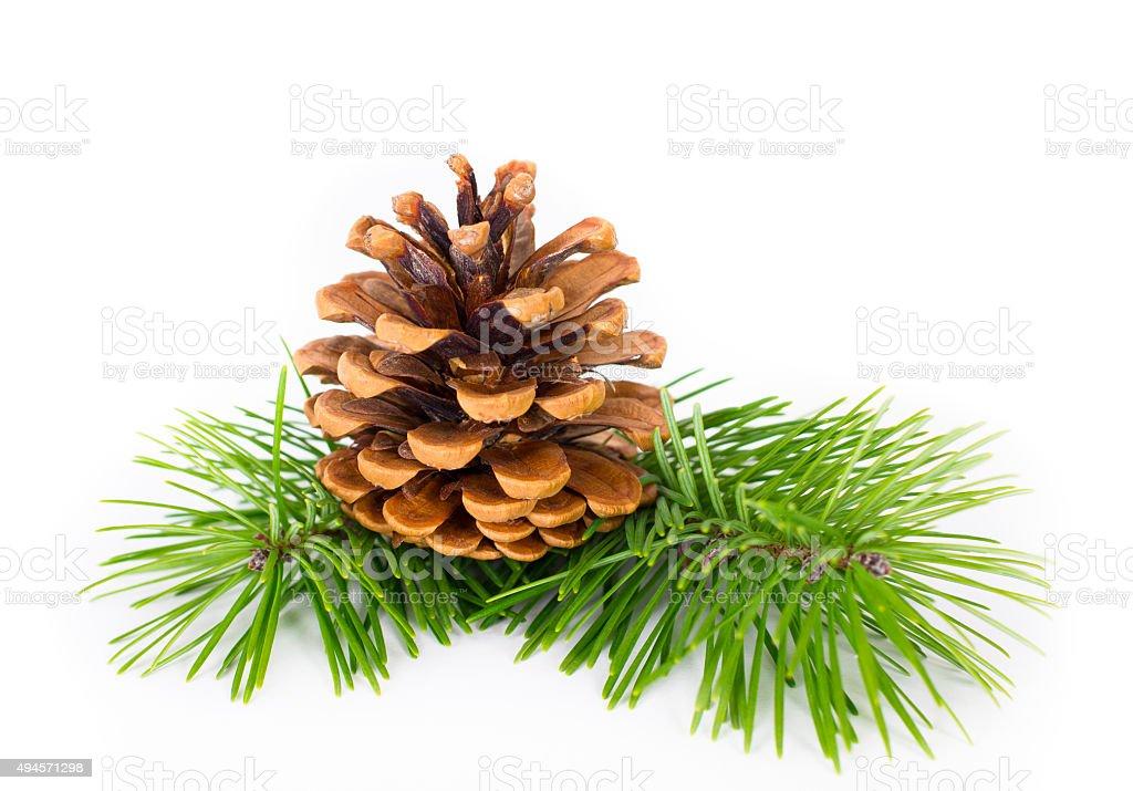 Pinecone on white background stock photo