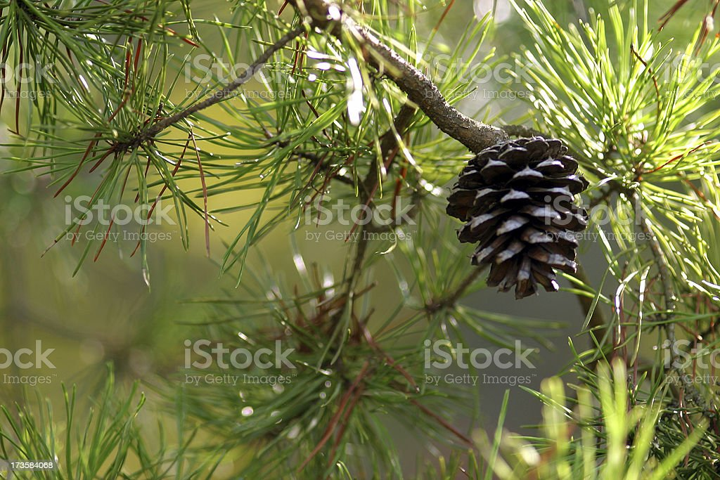 Pinecone royalty-free stock photo