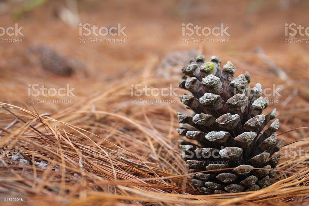 Pinecone stock photo
