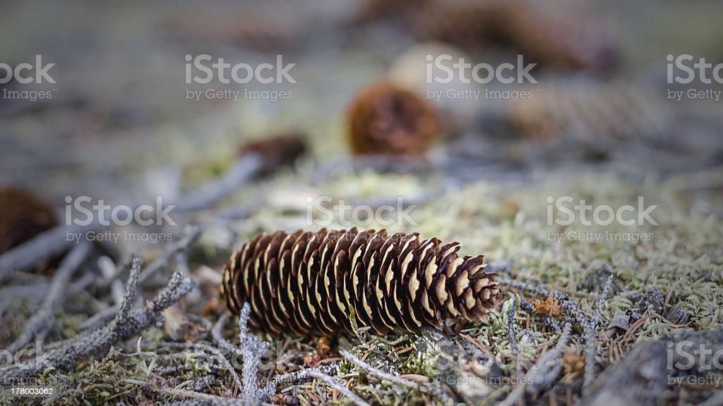 pinecones in the forest stock photo