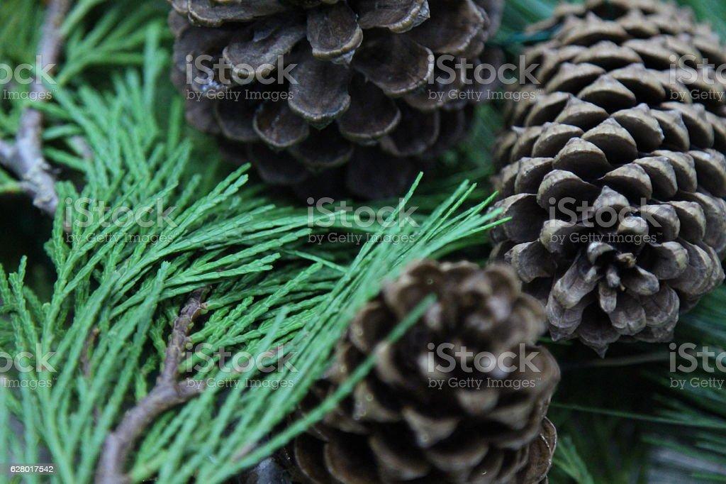 Pinecones in the tree stock photo