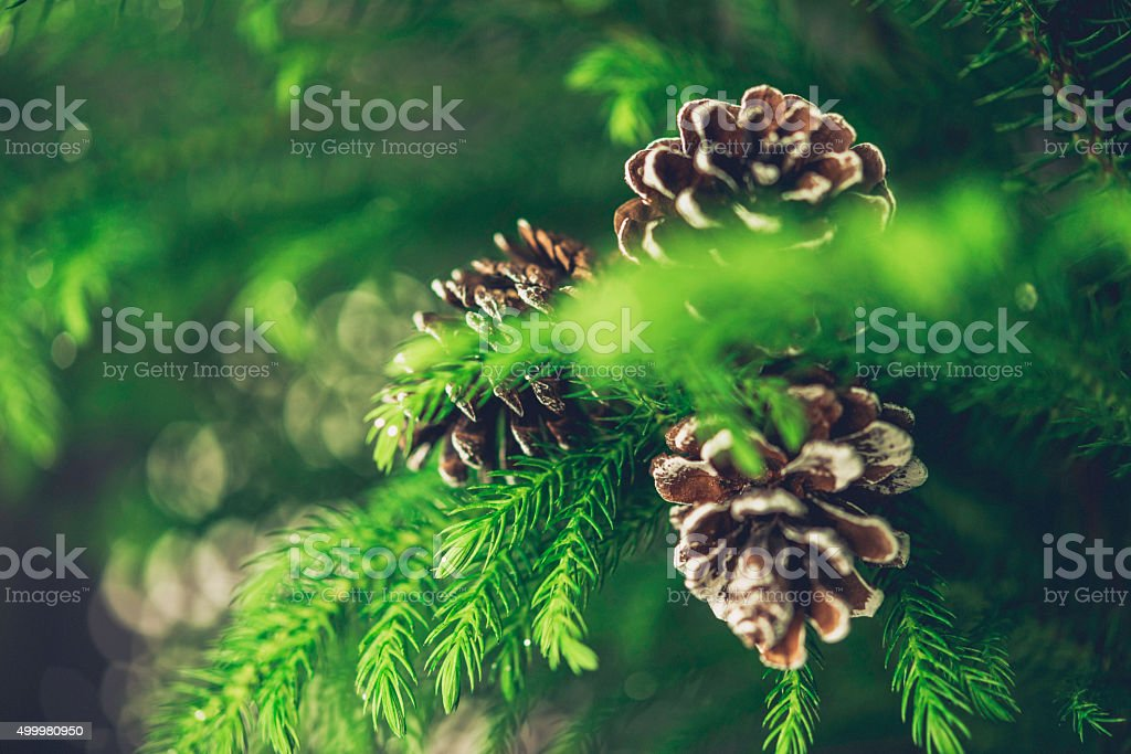 Pinecones on Christmas tree branches stock photo