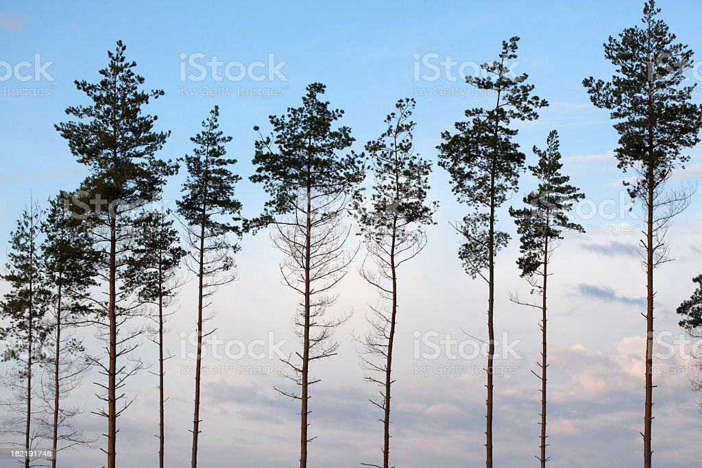 Pines against the Morning Sky royalty-free stock photo
