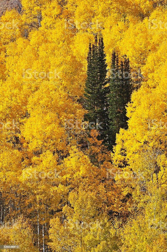 Pines amid Aspens stock photo