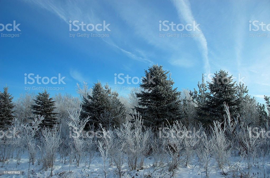 Пайнс и Мороз Стоковые фото Стоковая фотография