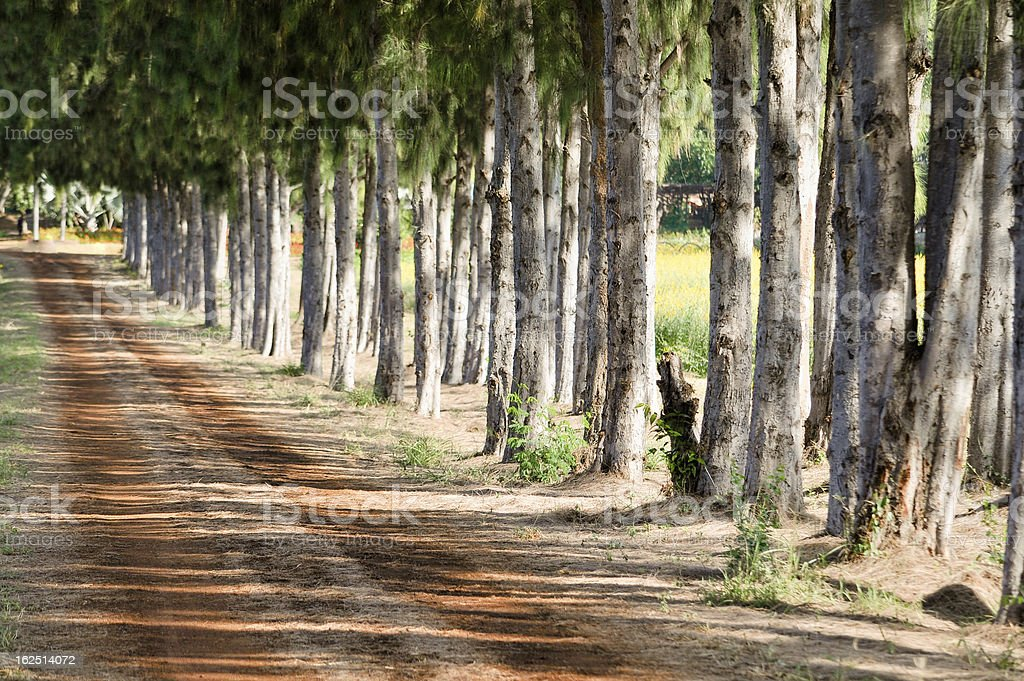 Pines and gravel path royalty-free stock photo