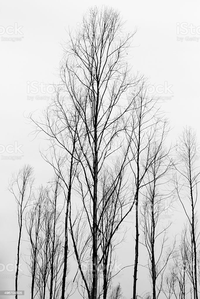 Pines and pine branches. royalty-free stock photo