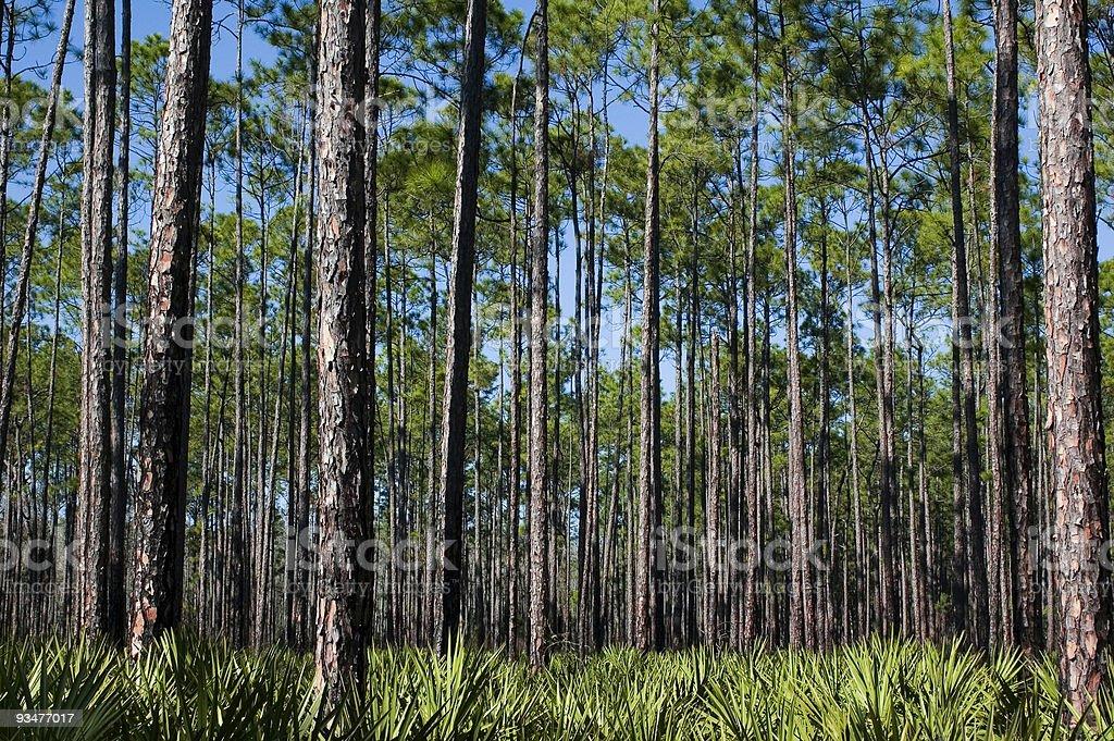 Pines and Saw Palmettos stock photo