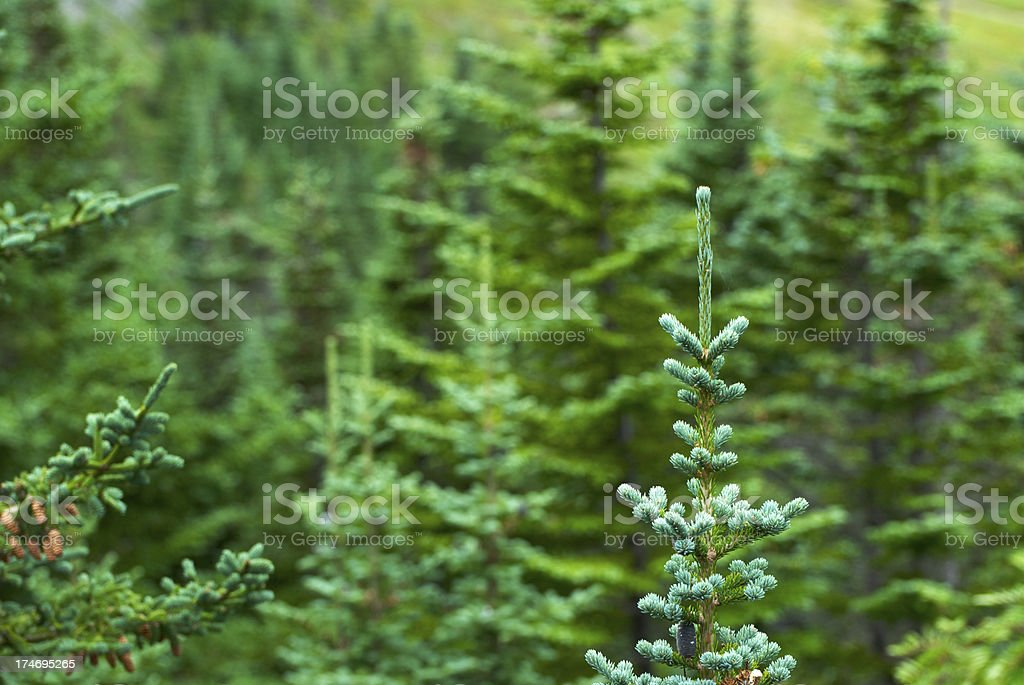 Pines background royalty-free stock photo