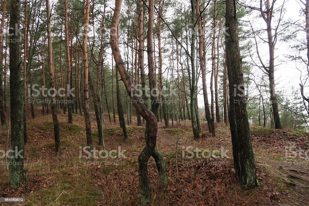 Pines in Latvia, near the sea stock photo