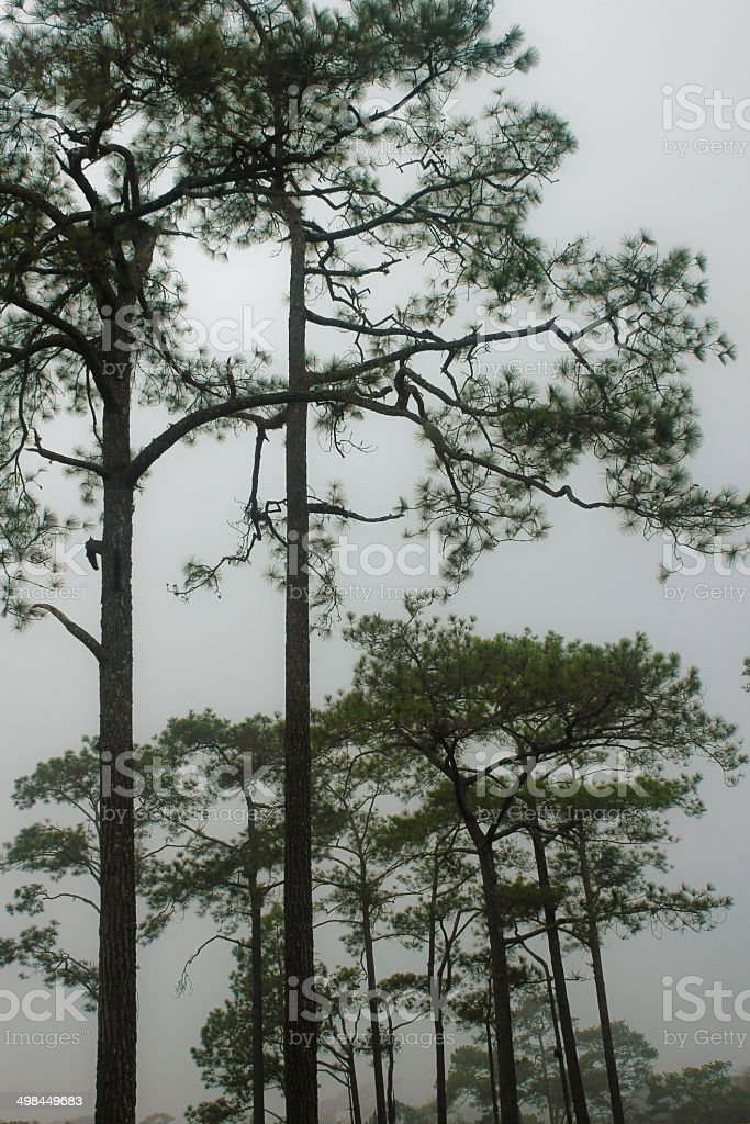 Pines in the mist at PhuKradueng National park , Loei , Thailand stock photo