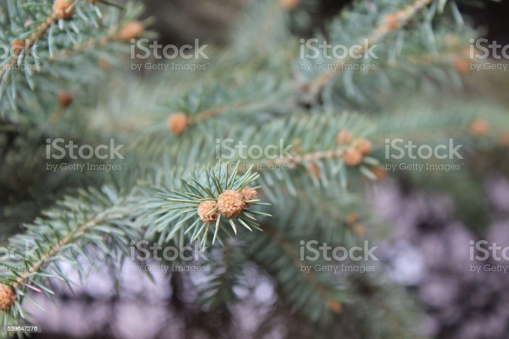 Pines needles stock photo
