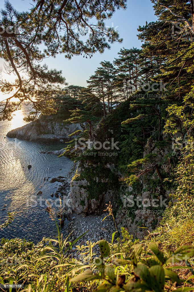 pines on a rocks at the sea in the morning stock photo