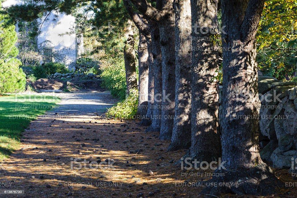 Pines shading lane stock photo