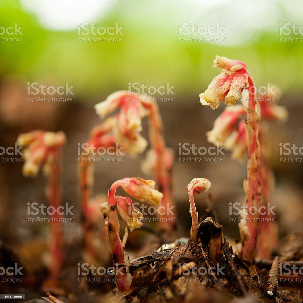 Pinesap - Monotropa hypopithys stock photo