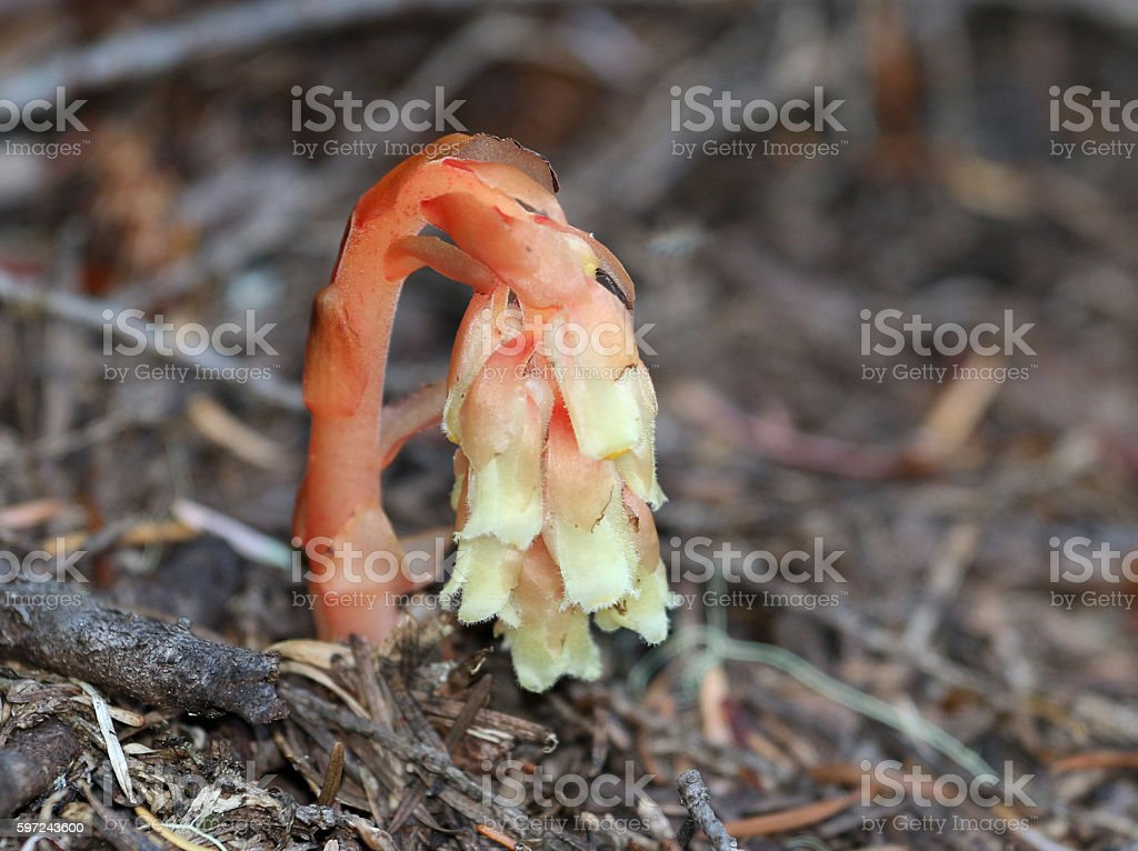 Pinesap - Monotropa hypopitys stock photo