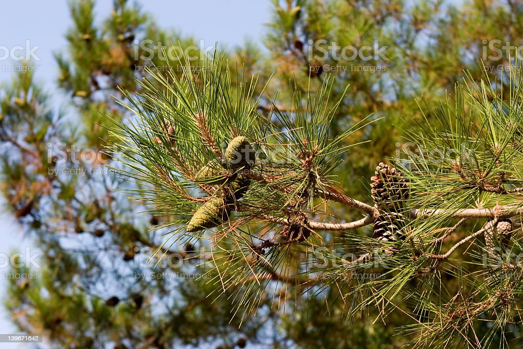 Pine-tree branch royalty-free stock photo