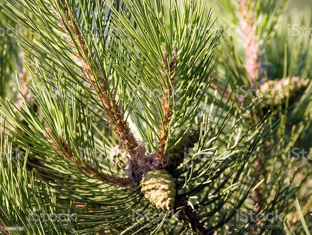 Pine-tree branch royalty-free stock photo