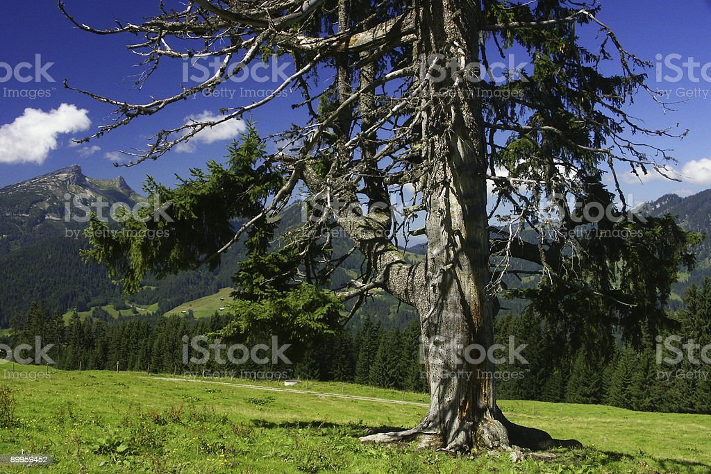 Pinetree in the mountains 2 royalty-free stock photo