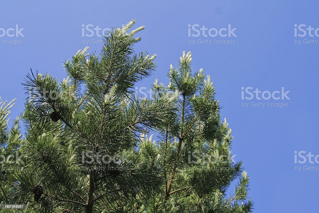 Pine-tree in the sky royalty-free stock photo