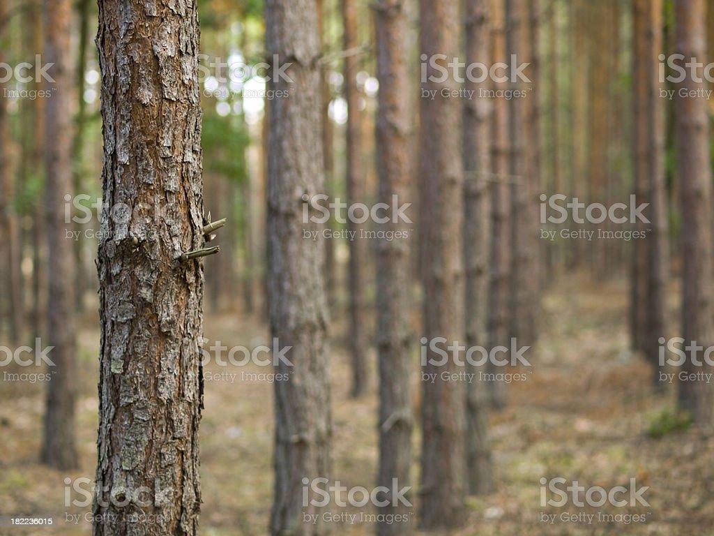 pinetree trunk stock photo