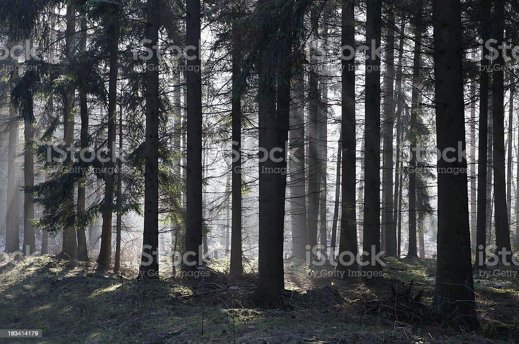 Pinewood with sunlight stock photo