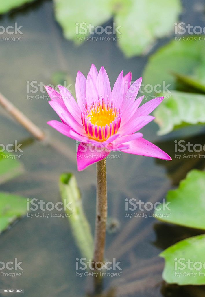 Ping lotus flower reflect with the water in the pond foto de stock libre de derechos