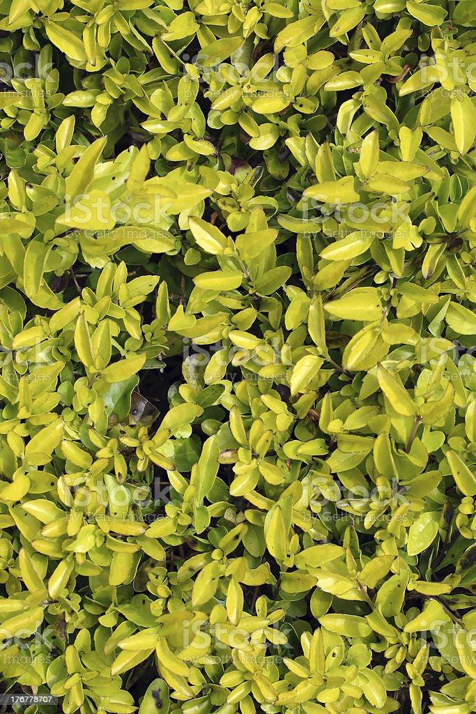 Pingo d'ouro bush royalty-free stock photo