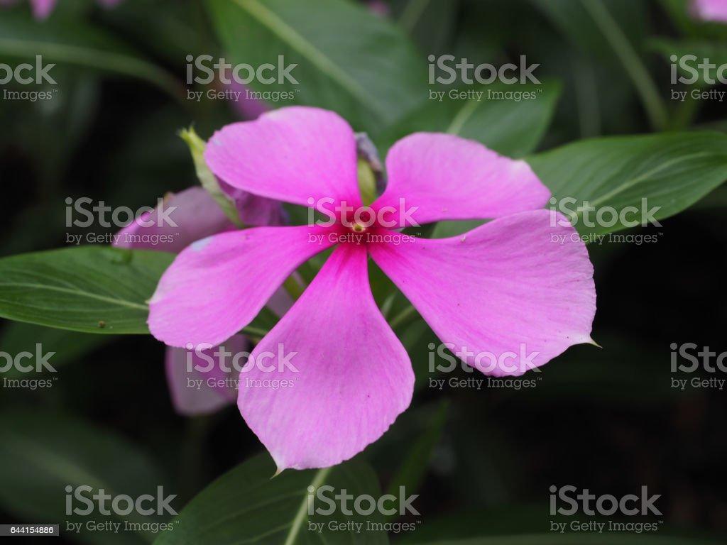 Pink 5 Petal Flower stock photo