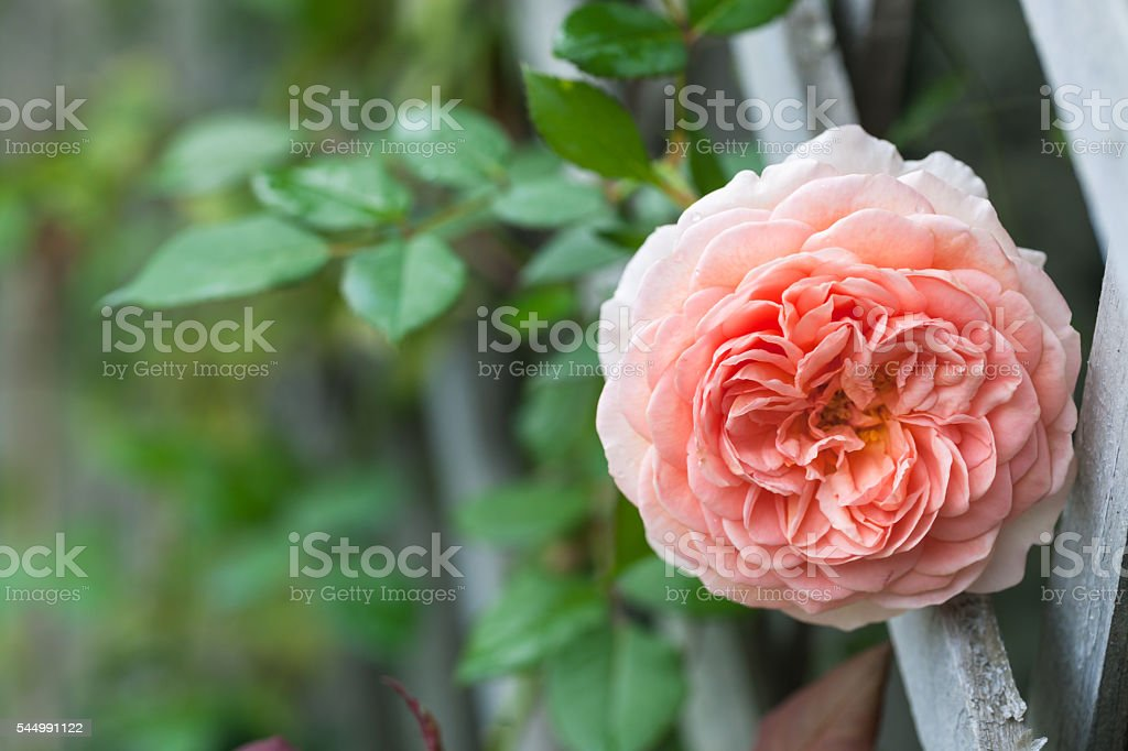 pink Abraham Darby roses blooming in garden stock photo