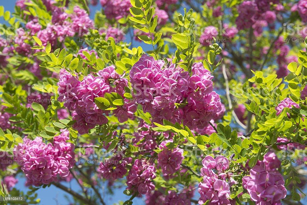 pink acacia stock photo