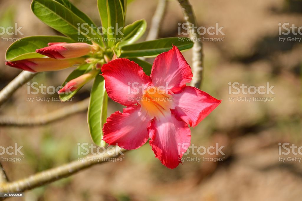 pink Adenium obesum flower stock photo