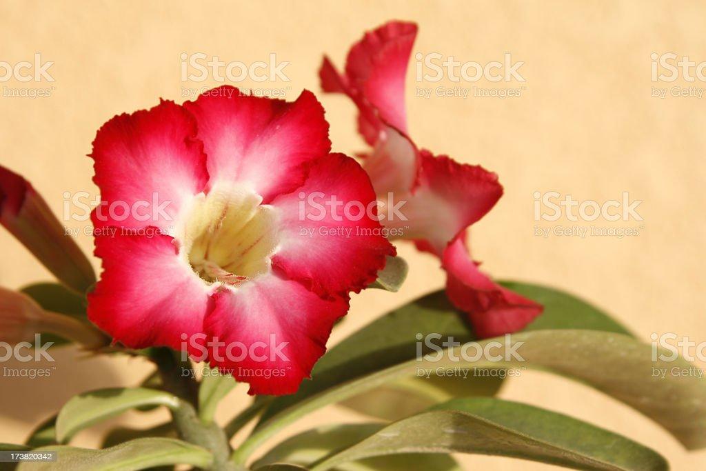 Pink Adenium stock photo
