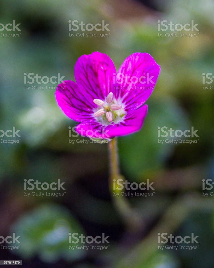 Pink Alpine Geranium close up flower in the garden outside stock photo