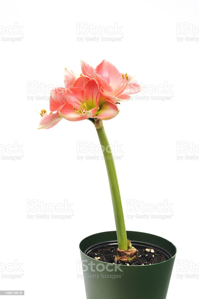 Pink Amaryllis Novella on white royalty-free stock photo