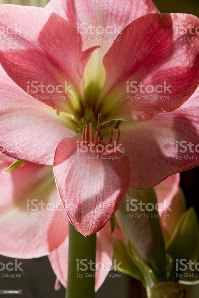 pink amaryllis royalty-free stock photo