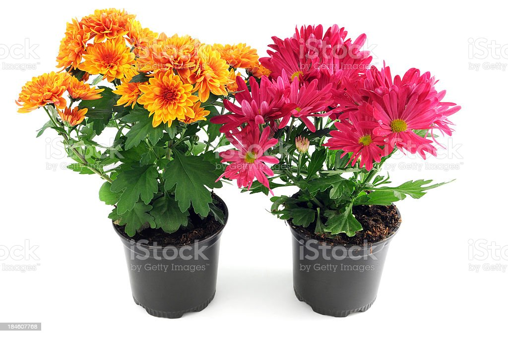 pink an orange Mums (Chrysanthemums) on white background stock photo