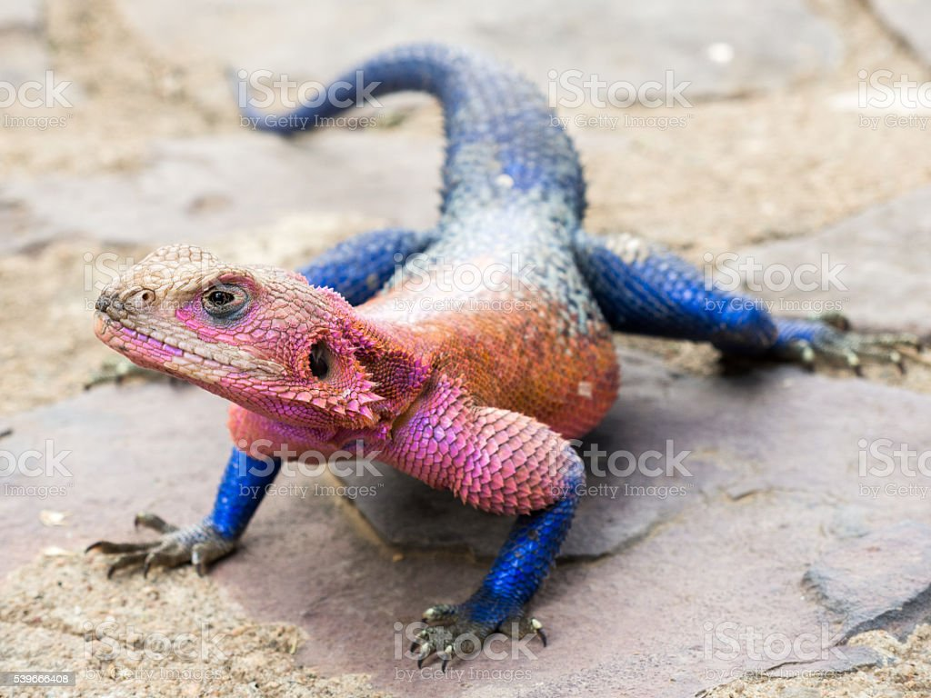 Pink and Blue Agama Lizard stock photo