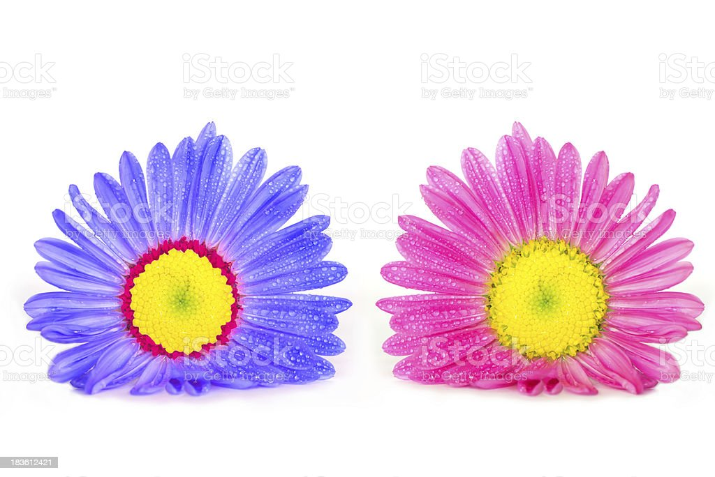 Pink and blue asters royalty-free stock photo