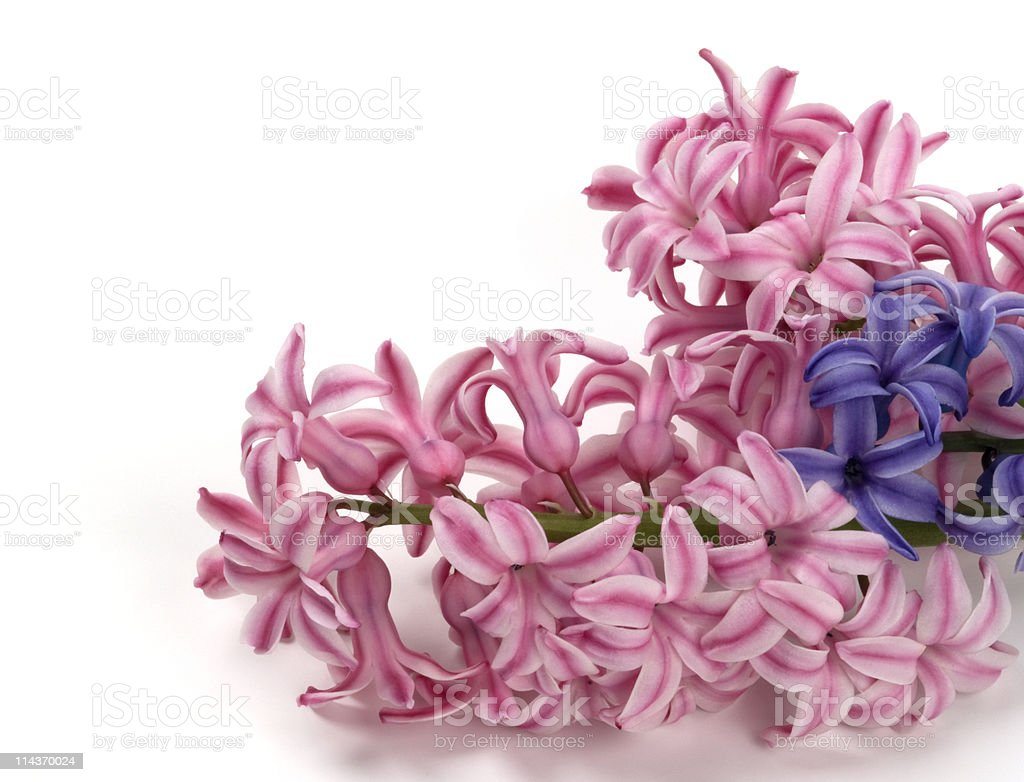 Pink and blue hyacinth stock photo