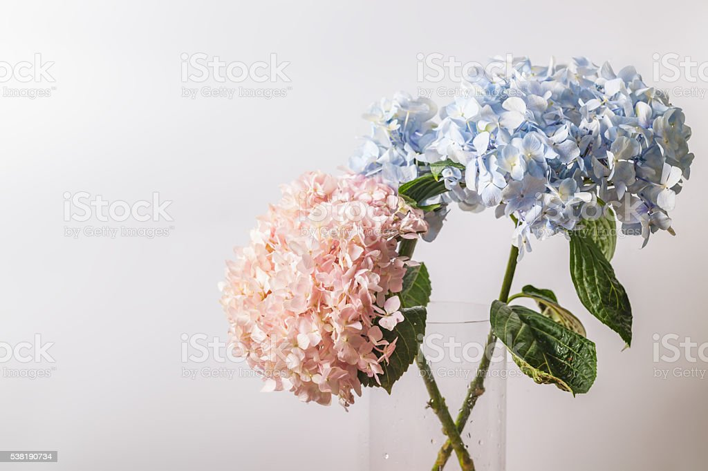 Pink and blue Hydrangea macrophylla macro shot with white background stock photo