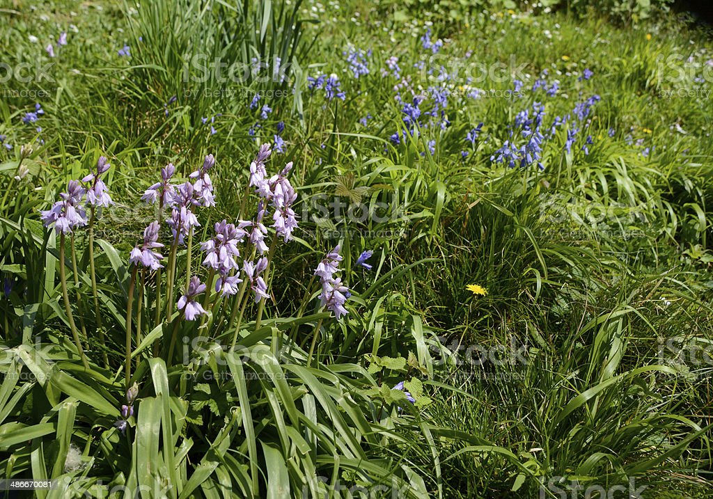 Pink and blue Spanish bluebells in Britain stock photo