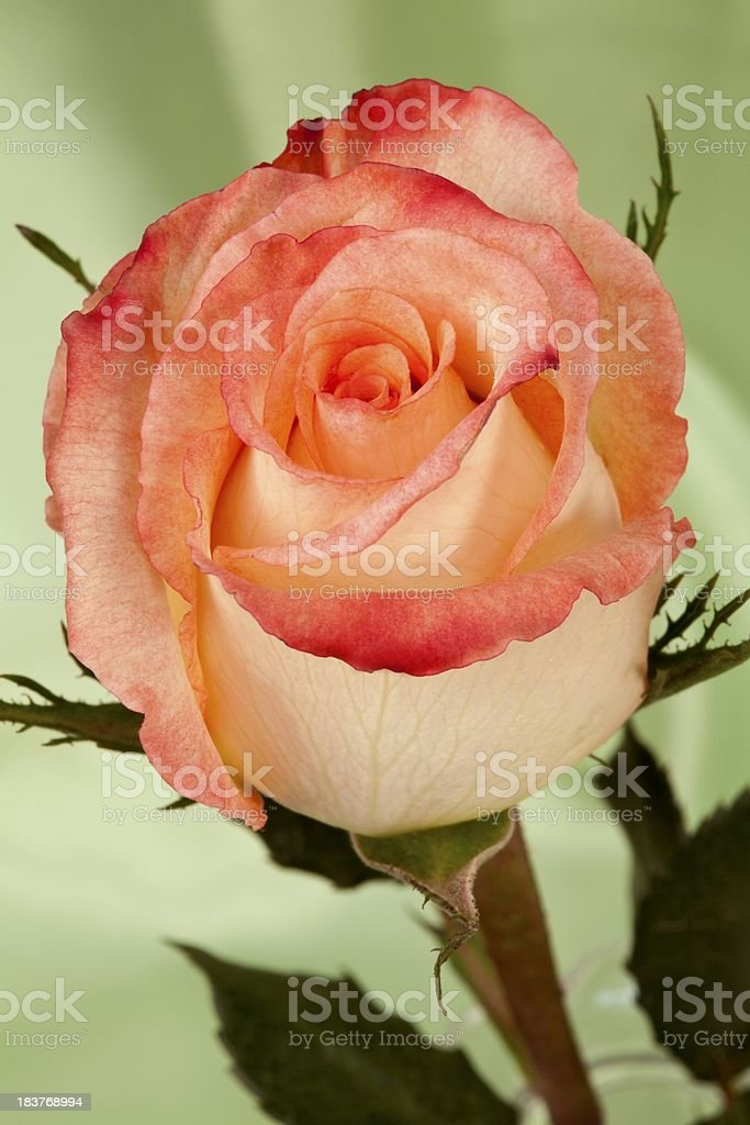 Pink and Cream Rose stock photo